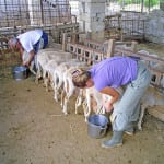 WWOOFing* on a Sheep Cheese Farm in Italy