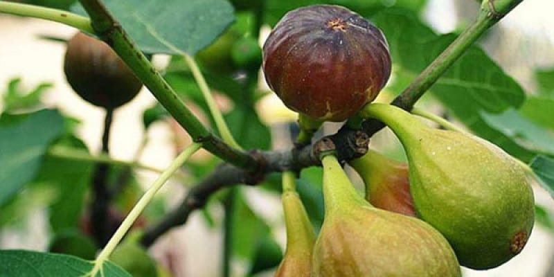 """More About Fig Sap """"Rennet"""""""