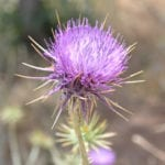 Thistle Rennet: Exciting New Product!